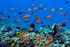 Coral Reef, Okinawa Japan (_takau99) Tags: ocean trip travel blue school sea vacation orange holiday fish uw nature water topv111 coral japan topv2222 island lumix japanese islands topv555 topv333 marine asia underwater topv1111 topv999 topv444 wide dive scuba diving topv222 september panasonic pacificocean tropical  scubadiving nippon okinawa topv777  goldie topv666 topf10 jpn 2007 topv888 kerama basslet  chinasea topf5  philippinesea fx30 eastchinasea pseudanthias takau99 pseudanthiassquamipinnis dmcfx30 dmcfx squamipinnis sawasdeedive jewelfairlybasslet seagoldie