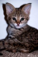 Who? Me? (Amanda Takes Pictures) Tags: wild baby amanda cat eyes kitten feline ears wildcat serval mccracken impressedbeauty amandamccracken amandamccrackenphotography
