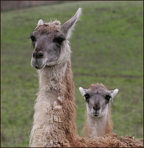 Mama and Baby Guanaco