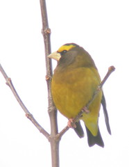 Male evening grossbeak