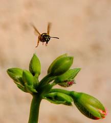 En plein vol- wasp in fly (rayd2b ..(Back with a new avatar)) Tags: macro flying wasp flight