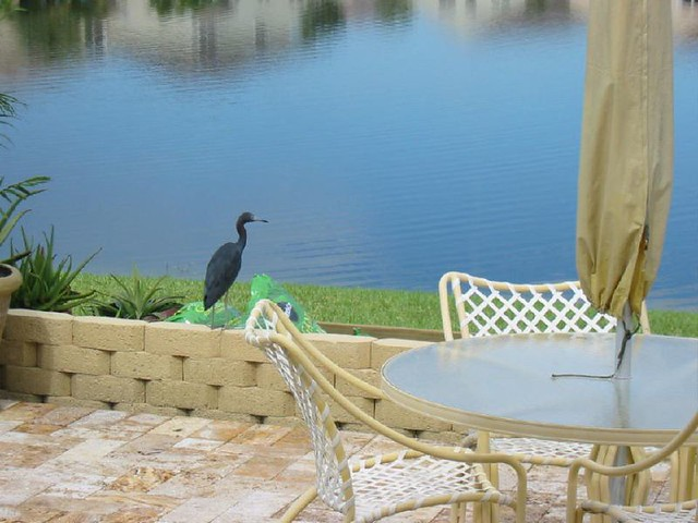 Patio19SEP06LittleBlueHeron