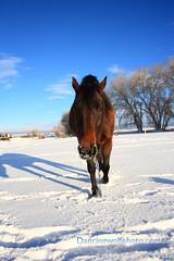 IMG_4094dw (dancingwolf22) Tags: horse dancingwolf blackfootidaho