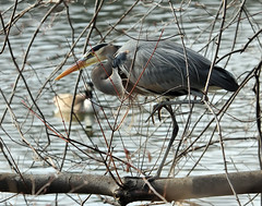 Tangled Up In Blue (ozoni11) Tags: bird heron nature birds animal animals nikon greatblueheron herons columbiamaryland d300 greatblueherons wildelake flickrsbest animaladdiction michaeloberman ozoni11