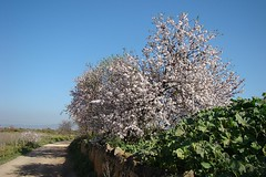 Amendoeira em Flor // Almond Blossom (Prunus dulcis) (Valter Jacinto | Portugal) Tags: flowers plants flores tree portugal nature faro flora plantas europe almond algarve plantae rvore biodiversity prunus naturephotography rosales whiteflowers rosaceae amendoeira prunusdulcis sweetalmond taxonomy:order=rosales taxonomy:family=rosaceae taxonomy:genus=prunus geo:country=portugal taxonomy:kingdom=plantae taxonomy:binomial=prunusdulcis taxonomy:common=sweetalmond geo:region=europe turismodenatureza
