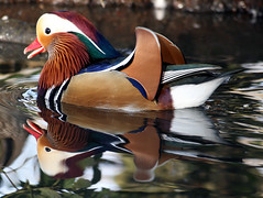 It's a Laugh... (law_keven) Tags: england reflection london television duck feathers mandarinduck waterfowl avian richmondpark bbcone featheryfriday specanimal theoneshow christineblakely