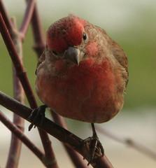 Eye To Eye (Trish Overton) Tags: house male bird birds indiana sparrow