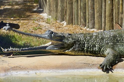 Asian Gator