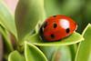 7-spot ladybird (Lord V) Tags: macro insect ladybird macrolife ahqmacro alemdagqualityonlyclub macroqualityonlyclub