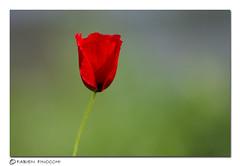 Simplicity (fab's_photos) Tags: italy rome flower roma primavera spring nikon italia d2x simplicity fiore prato papavero semplicità