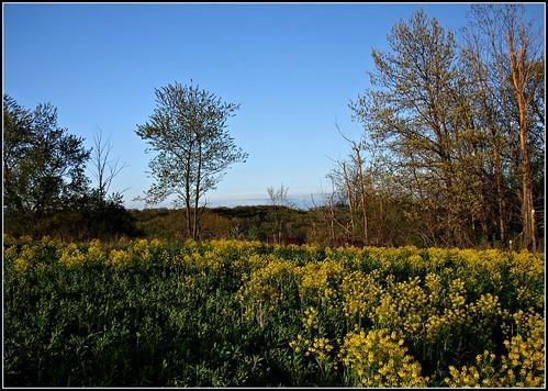 Yellow Rocket Field