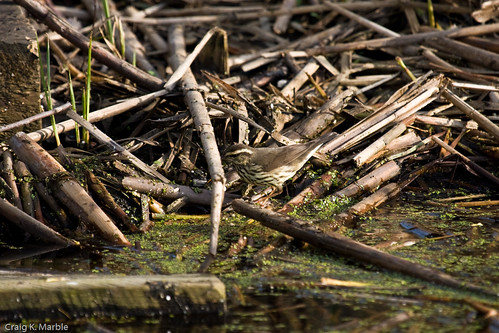 Northern Waterthrush (2 of 2)