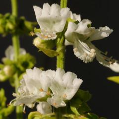 Gone to seed: Basil (Ocimum basilicum) (cocoi_m) Tags: white flower nature basil herb ocimumbasilicum macrophotograph awesomeblossoms