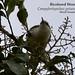 Bicolored Wren, Campylorhynchus griseus