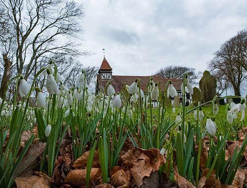 Churchyard Snowdrops
