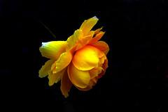 IMGP0109 Rose (tsuping.liu) Tags: outdoor organicpatttern rose yellowflower blackbackground bright blooming flower plant photoborder perspective petal pattern photographt passion photoboder purity nature natureselegantshots naturesfinest macro
