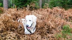 Charlie 42 weeks old (Mark Rainbird) Tags: fern dog powershots100 puppy canon retriever ufton uk charlie uftonnervet england unitedkingdom gb
