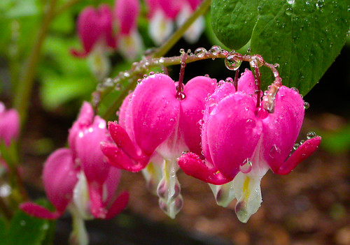 Flowers of May - bleeding heart