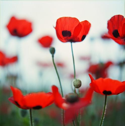 poppies ♪