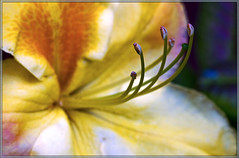 come to me (rob of rochdale) Tags: summer flower macro petals stamen pollen 2011