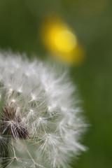 Lwenzahn / Blowball (Milhouse1075) Tags: macro natur blume makro pusteblume blowball