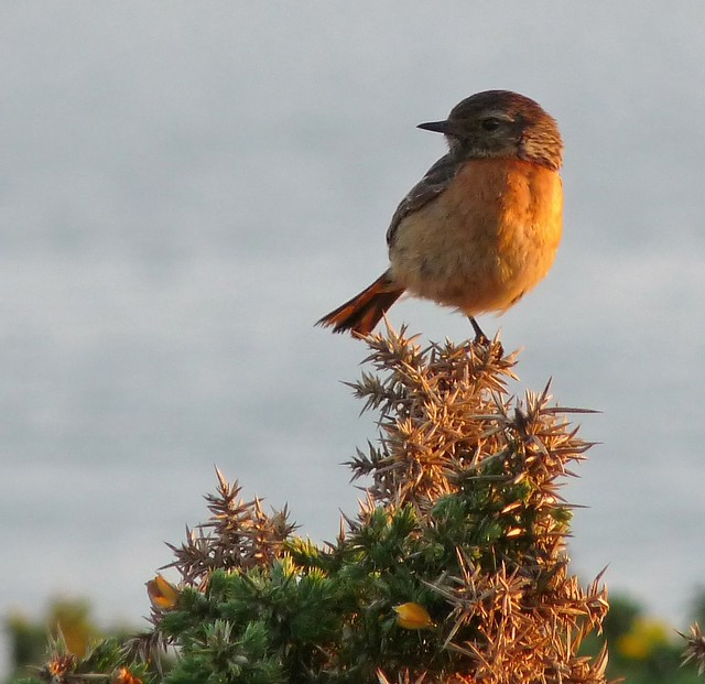 24436 - Stonechat, Rhossili, Gower