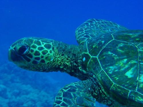 Honu - Hawaiian green sea turtle