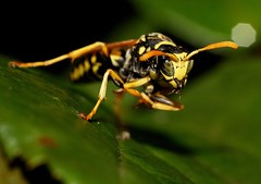 Wasp (Fotos by Dee) Tags: county washington clark wa bli naturesfinest clarkcounty dagmarakadee