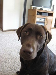 Chocolate Lab Sitting Pretty: Cheyenne
