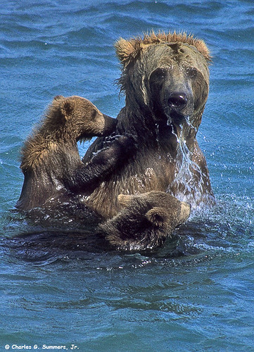 Brown Bear (Grizzly) Cubs cling close to mother as she tried to fish