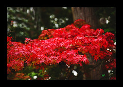 Red... (~~JC~~) Tags: travel red color colour fall colors leaves japan canon leaf kyoto colours momijigari japanesemaple redisbeautiful abigfave acerplamatum