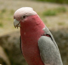 Galah (ianmichaelthomas) Tags: friends birds healesvillesanctuary parrots galahs birdwatcher smrgsbord animaladdiction goldenmix australiannativebirds golddragon avisittothezoo abigfave wildlifeofaustralia animalcraze diamondclassphotographer flickrdiamond worldofanimals auselite naturewatcher colourartaward healesvillevictoriaaustralia flickrlovers vosplusbellesphotos
