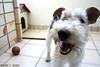 Ruffus (Richard E. Ducker) Tags: de wire terrier fox wired duro pelo arame ruffus