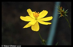 not wild..but ....in de forests (Naseer Ommer) Tags: wild india flower yellow flora kerala asteraceae cosmos southindia palghat yellowcosmos cosmossulphureus heliantheae silentvalleynationalpark