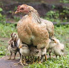 A mothers' warmth (Tom Leuntjens Photography) Tags: chicken thailand chiangmai chicks jungletrekking impressedbeauty