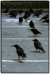 Crows at Nightfall (PiscesDreamer) Tags: canada birds parkinglot britishcolumbia burnaby crows corvid onelove corvidae stillcreek ecotone corvine