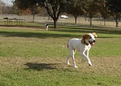 DSC01504.JPG (Web_Anna) Tags: park family nature grass sisters outside puppies birddog cutedogs blackandwhitedog dogwrestling englishspringerspaniel fortwoof dogsmile huntingdogs americanfoxhound brownandwhitedog playingingrass