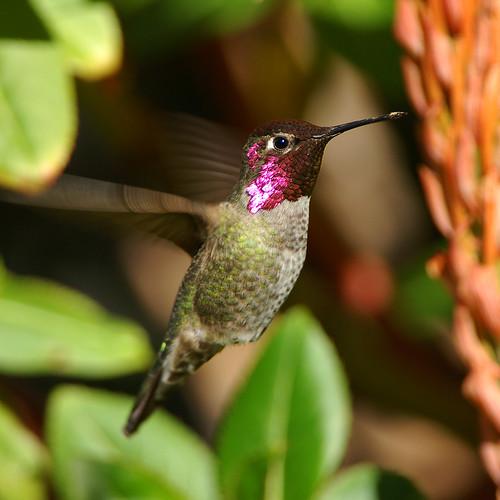 ハチドリの画像 p1_17