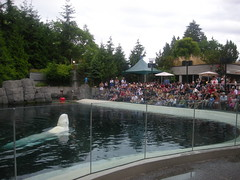 Beluga Whale Show, Vancouver Aquarium, Vancouver, BC, Canada (A Travelling Jack) Tags: vancouver columbia canada travel tourism vancouveraquarium aquarium sealife stanleypark bc britishcolumbia whale beluga belugawhale city urban park urbanpark vancouverbc vancouvercanada vancouvervacation vancouverbritishcolumbia vancouvertourism vancouvervacations cityofvancouver vancouverbccanada vancouvertravel stanleyparkvancouver stanleyparkvancouverbc stanleyparkbc stanleyparkinvancouver stanleyparkcanada canadian vancouveraqaurium vancouverbcaquarium vancouveraquariummarinesciencecentre aquariuminvancouver thevancouveraquarium vancouvercanadaaquarium belugawhales picture pictures image images photo photos holidayvancouver vancouverinformation vancouvercentre vancouvertrip holidaysvancouver vancouverpictures vancouverimages picturesofvancouver vancouverphotos vancouverincanada vancouverbritishcolumbiacanada visitvancouver visitingvancouver photosofvancouver vancouverthingstodo vancouvertourist sightseeingvancouver vancouveraquariam vancouveracquarium vancouveraquariummarine vancouveraquariumbc vancouveraquariumbeluga vancouveraquariummarinescience
