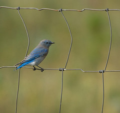 Mountain Bluebird (Sialia currucoides) (ER Post) Tags: park mountain west landscape photo image national yellowstone bluebird wyoming teton sialia currucoides