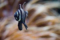 Endangered (macropoulos) Tags: fish aquarium topf50 500v20f cardinal greece 500v50f crete endangered animalia cardinalfish chordata banggai 1500v60f 1000v40f actinopterygii canonef100mmf28macrousm cretaquarium flickrsbest perciformes mywinners abigfave canoneos400d apogonidae thalassocosmos 30faves30comments300views kauderni pterapogon 50faves50comments500views diamondclassphotographer ysplix betterthangood