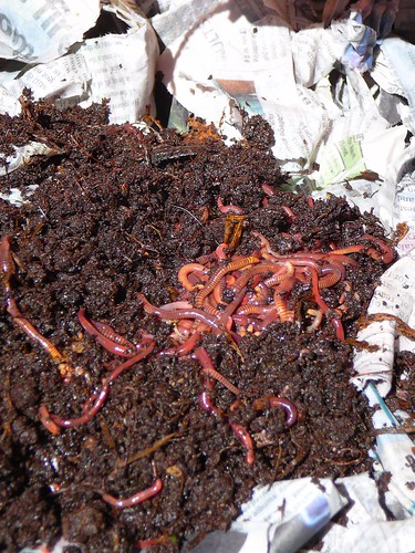 red wigglers in worm bin