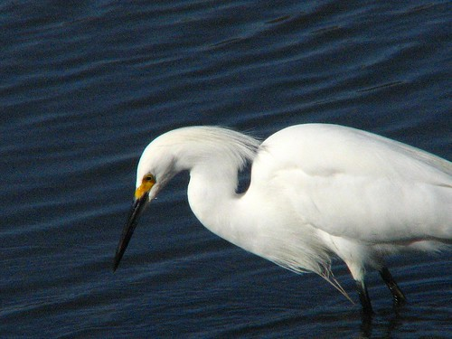 Snowy Egret on Water