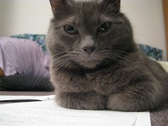 Get off my homework! (Leya :P) Tags: portrait cats cat paper grey king homework russianblue anawesomeshot