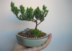 My bonsai  and teeny water buffalo