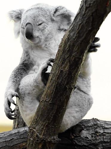Koala, by Patxi64