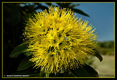 Xanthostemon chrysanthus - Golden Penda,Yellow Penda (Black Diamond Images) Tags: rainforest australia nsw queensland flowering yellowflowers floweringtrees myrtaceae goldenpenda xanthostemonchrysanthus rainforestplants rainforestplant arfp coffsharbourbotanicgardens australianrainforestplant australianrainforestplants bdimages yellowpenda yellowfloweringtrees northcoastregionalbotanicgardens ncrbgch qrfp yellowfp yellowarfflowers ncrbgcharfp