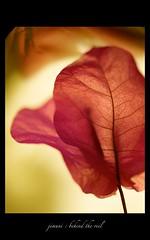 behind the veil (jimuni) Tags: veil flower macro red purple envyofflickr saveearth goldstaraward onlynatureaward mywinners natureislovely yourbestshot flowerotica thetrueessenceofallmothernature phantasticphotogoldawardgroup unlimitedphotos makesmybonessing allkindsofbeauty alemdagqualityonlyclub alemdaggoldenaward soe bougainvillea