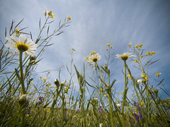 A ras (_Zahira_) Tags: blue sky flores flower azul lafotodelasemana olympus cielo daisy margarita monfragüe 714 e500 uro 100vistas p1f1 ltytrx5 ltytr2 ltytr1 ltytr3 ltytr4 2ºolympicframe
