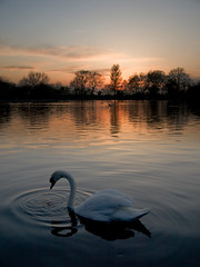 Swan at dusk (.ks) Tags: manchester swan fallowfield e410